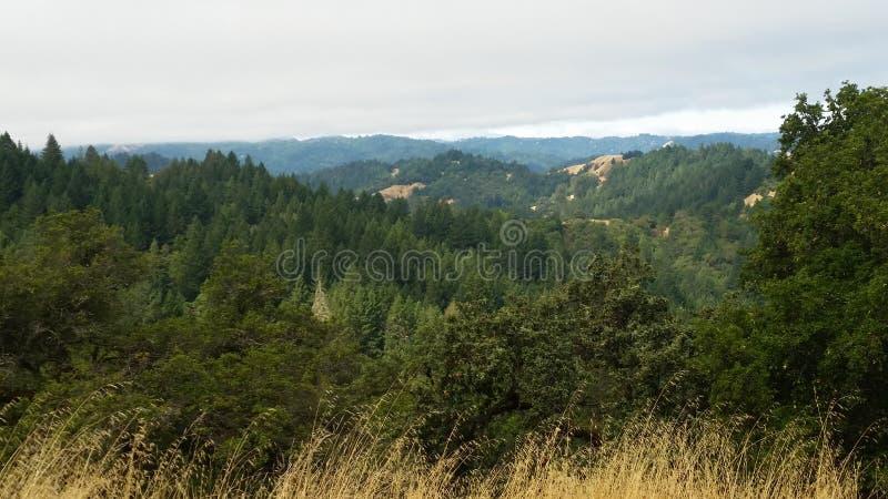 北加利福尼亚红木 库存照片