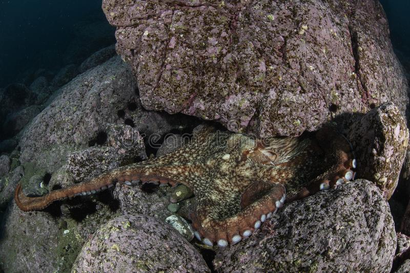 北太平洋巨型章鱼水下在日本 免版税库存照片