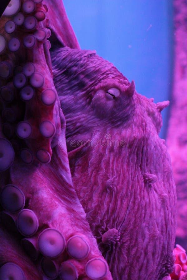 北太平洋巨人章鱼 库存照片