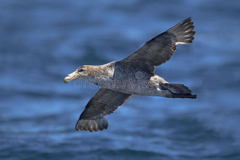 北巨型海燕 库存图片