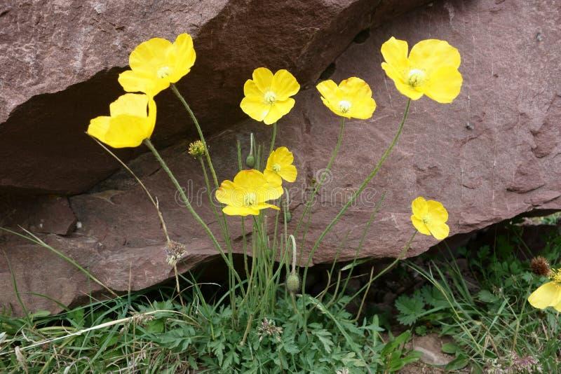 北帕米尔高原的美丽的花 免版税库存照片