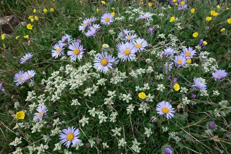 北帕米尔高原的美丽的edelweiss和春黄菊 免版税库存照片