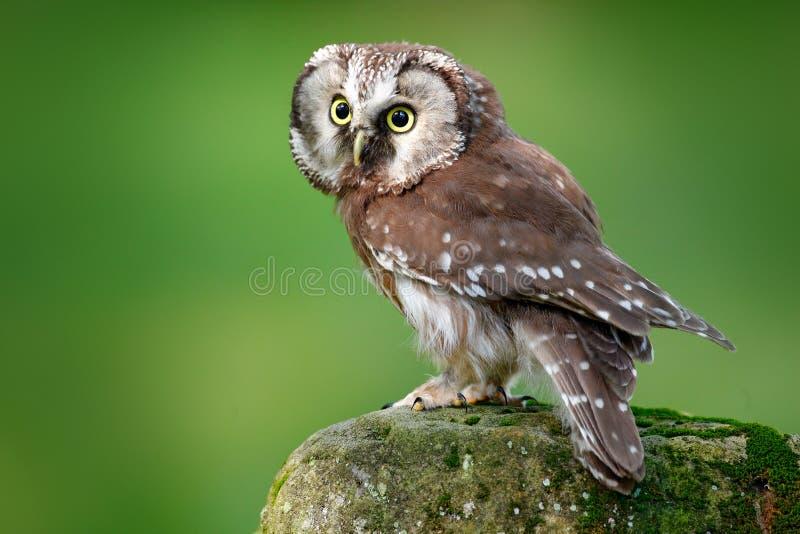 北方猫头鹰, Aegolius funereus,坐落叶松属石头有清楚的绿色森林背景 森林鸟在自然栖所 小 库存照片