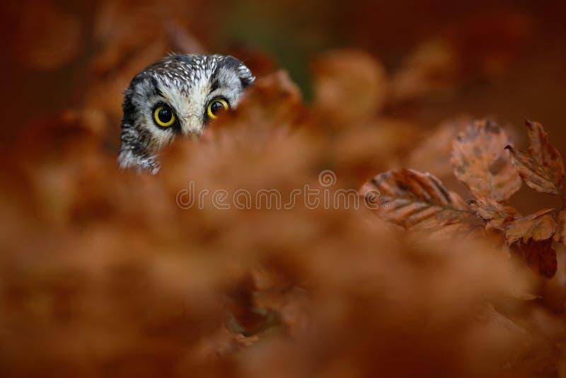 北方猫头鹰画象与黄色眼睛的在秋天期间的橙色橡树 免版税库存图片