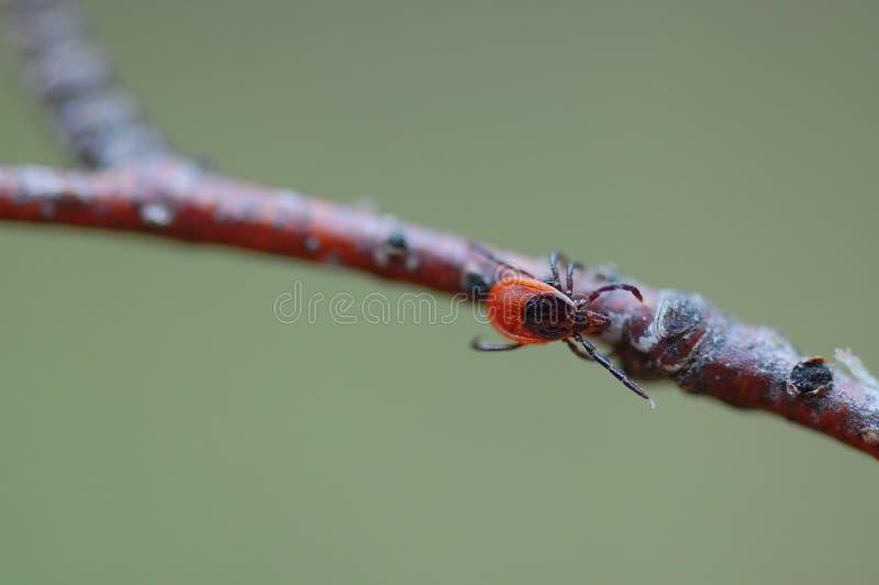 北方针叶林壁虱蜱persulcatus 免版税库存图片