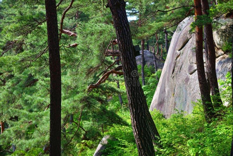 北朝鲜的风景 红色韩国杉木森林 库存照片