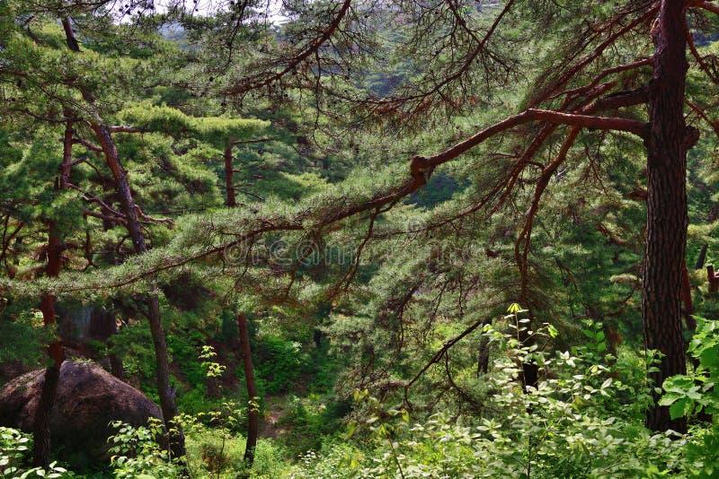 北朝鲜的风景 红色韩国杉木森林 免版税库存图片