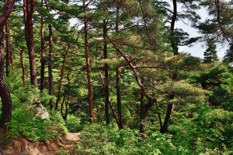 北朝鲜的风景 红色韩国杉木森林 图库摄影