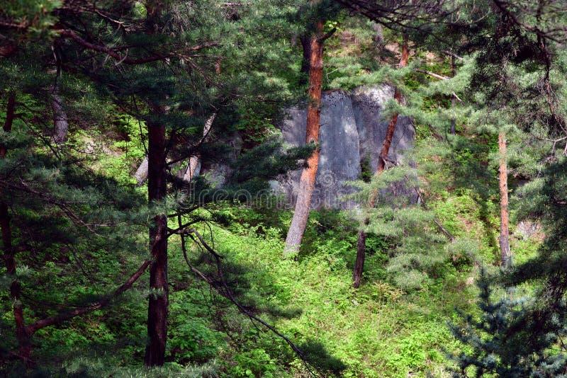 北朝鲜的风景 红色韩国杉木森林 免版税库存照片