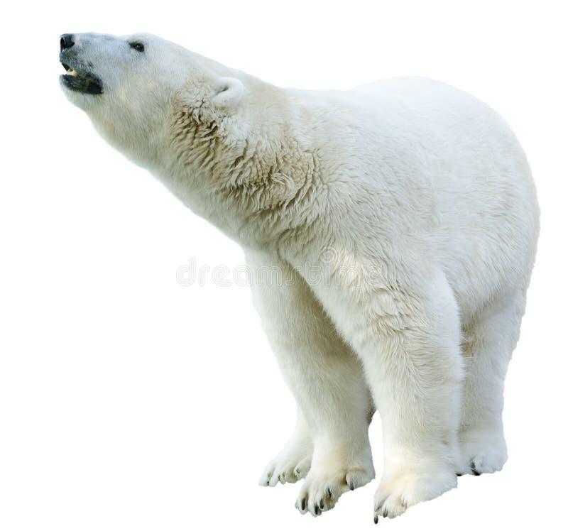 北极北极熊,熊属类maritimus恐龙库存.图片顶头有包括图片图片