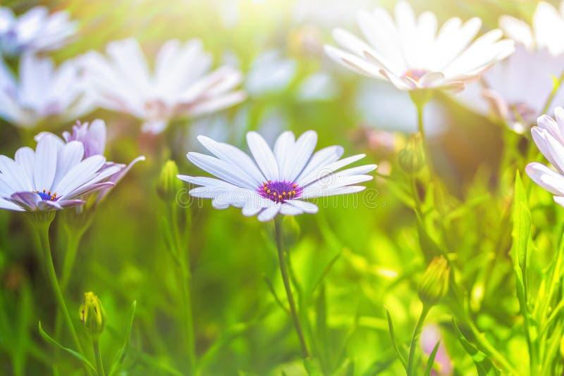北极圈白花绽放特写明阳光明媚 夏日的温暖与欢乐 免版税库存照片