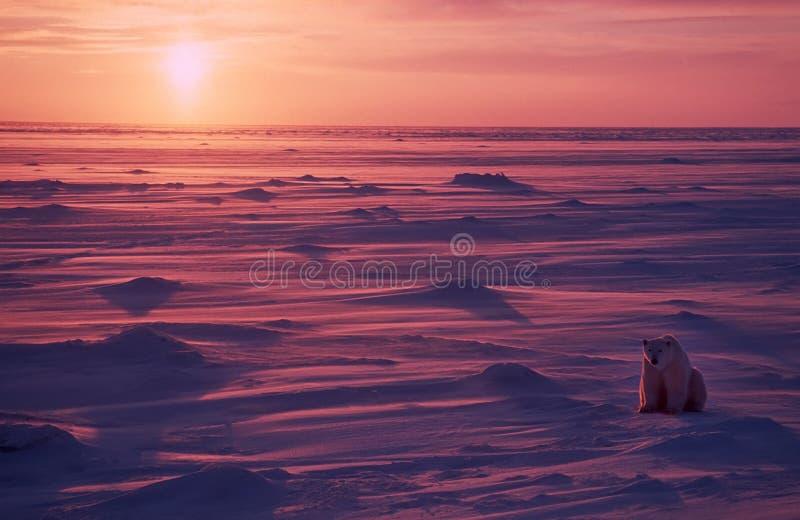 北极熊加拿大极性 免版税库存照片