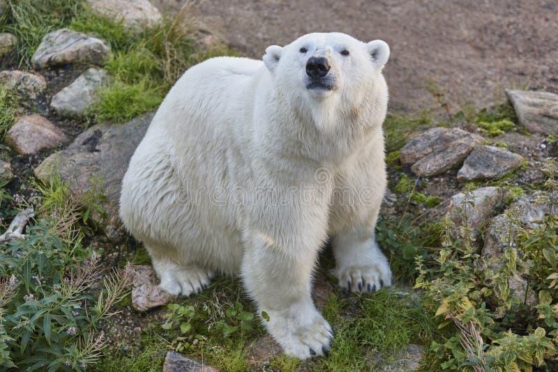 北极熊在原野野生生物仓鼠背景动物咬破手没事吧图片