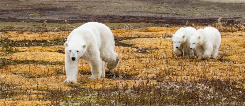 北极熊妈妈和孪生 免版税库存图片