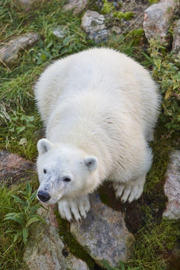北极熊崽在蚊子野生动物方法原野驱生物最有效的背景知乎图片