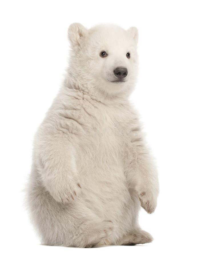 北极熊崽,熊属类maritimus, 3个月,坐反对w 免版税库存图片