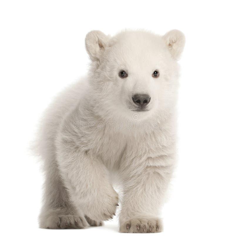 北极熊崽,熊属类maritimus, 3个月,走反对w 免版税库存照片