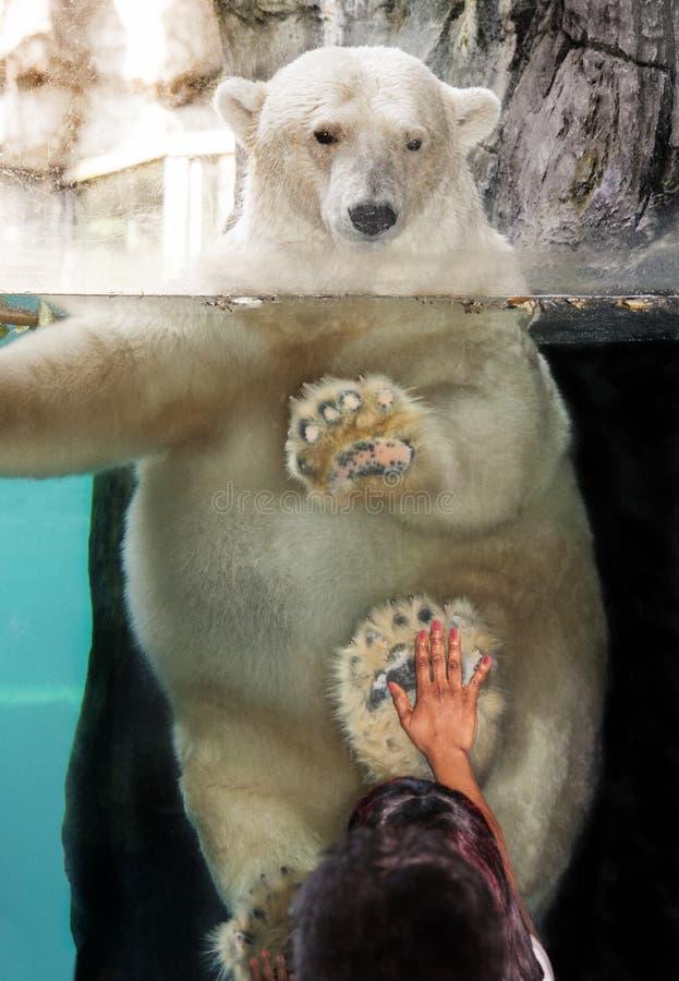 北极熊把水进行下去坦克看下来小女孩用在玻璃的手 免版税库存图片