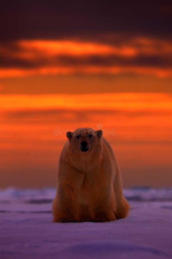 北极熊日落在北极 涉及与雪的流冰,与晚上橙色太阳,斯瓦尔巴特群岛,挪威 美丽的红色天空 免版税库存照片