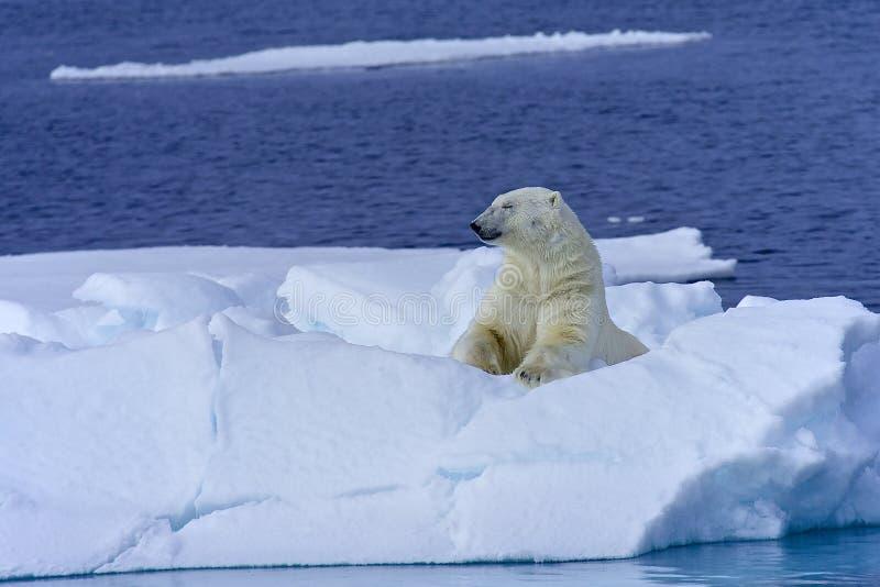 北极熊晒日光浴 免版税库存图片