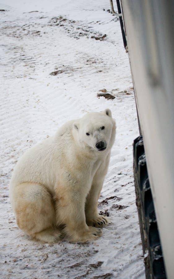 北极熊来了非常紧密到北极徒步旅行队的一辆特别汽车 加拿大 丘吉尔国家公园 免版税库存照片