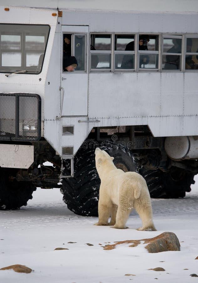 北极熊来了非常紧密到北极徒步旅行队的一辆特别汽车 加拿大 丘吉尔国家公园 免版税库存图片