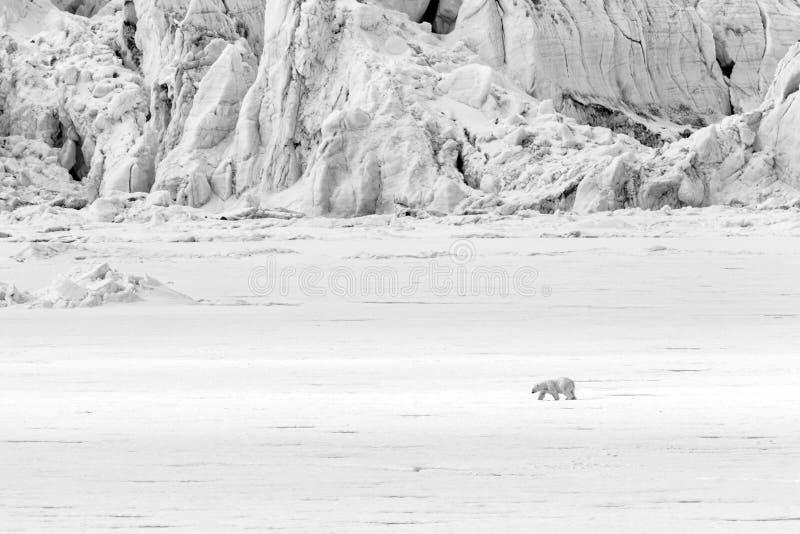 北极熊沿沿冰川,斯瓦尔巴特群岛, Spitsgergen的一座冰川跑 库存图片