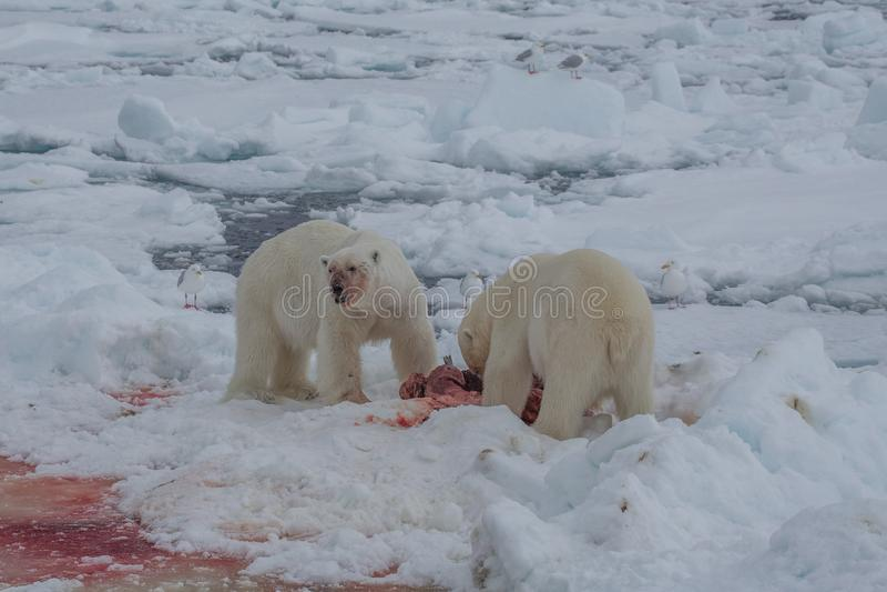 北极熊熊属类maritimus卑尔根群岛北部海洋 免版税库存照片