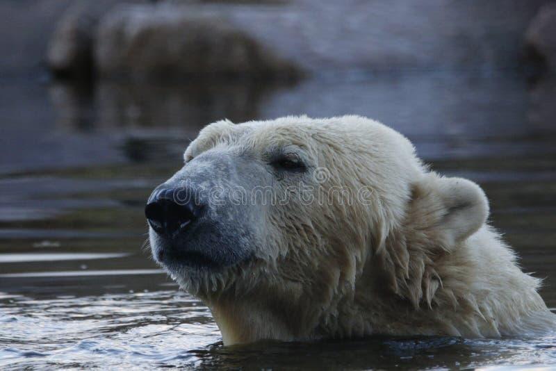 北极熊画象,游泳,熊属类maritimus 免版税库存图片