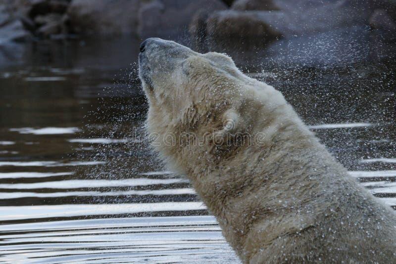 北极熊画象,游泳,熊属类maritimus 免版税库存照片