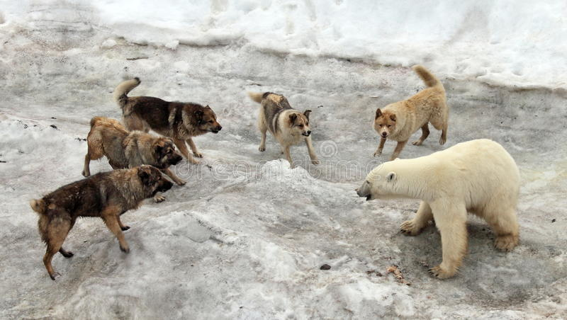 攻击北极熊的狗 免版税图库摄影