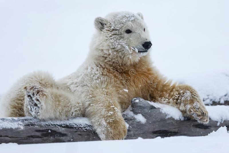 北极熊,北北极掠食性动物 图库摄影