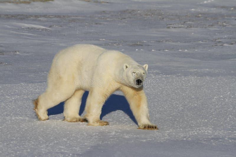 北极熊,熊属类Maritimus,走在寒带草原和雪在一个晴天 库存图片