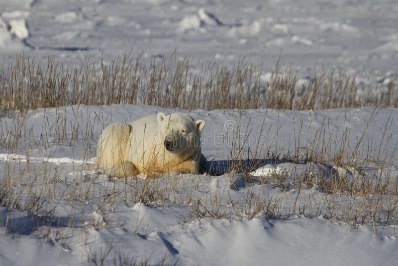 北极熊,熊属类Maritimus,躺下在草和雪之间,在哈德森湾附近岸  免版税库存照片