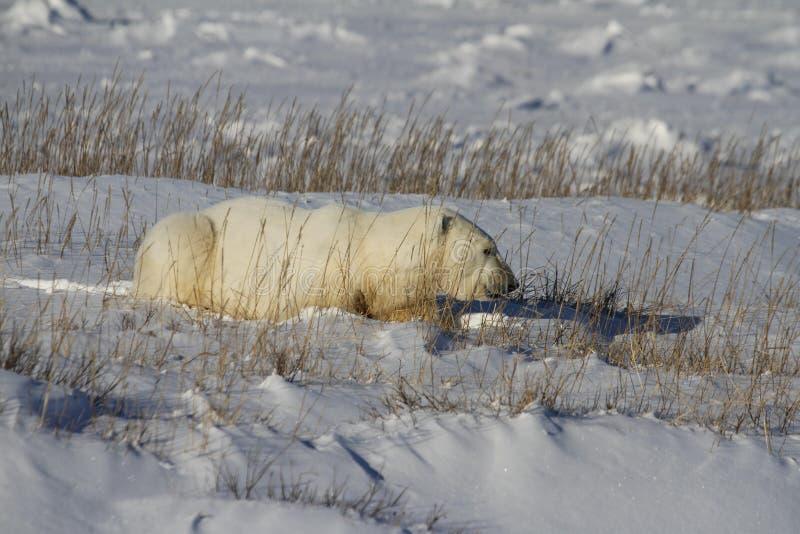 北极熊,熊属类Maritimus,躺下在草和雪之间,在哈德森湾附近岸  图库摄影