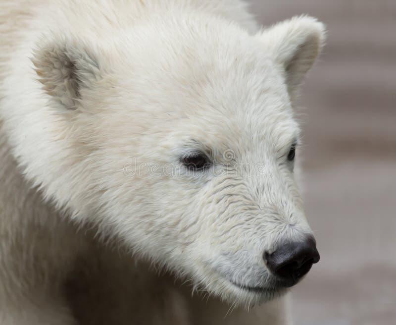 年轻北极熊画象被水泡咬后蚊子起儿童图片