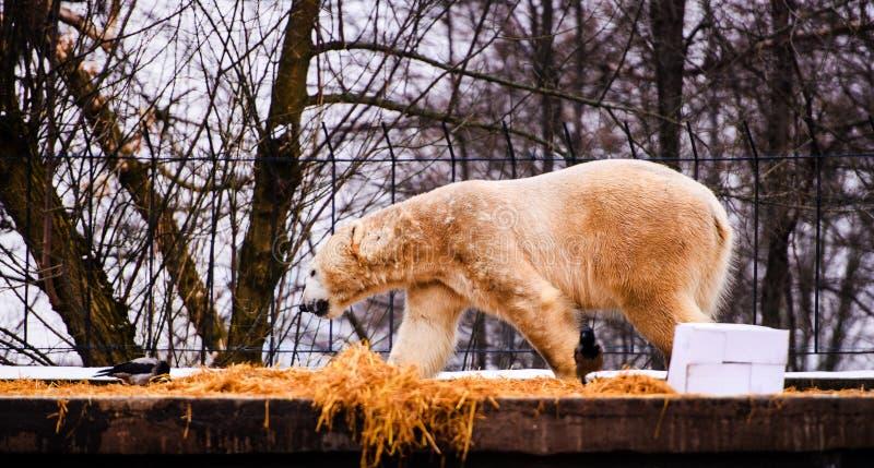 北极熊& x28;熊属类maritimus 库存图片