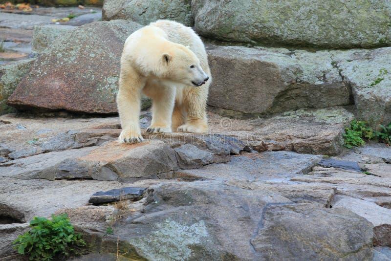 北极熊 免版税库存图片