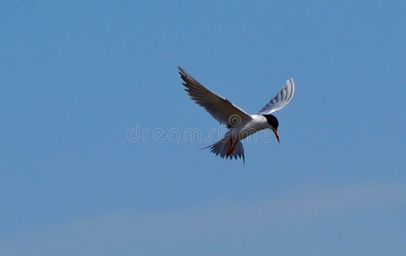 北极燕鸥或天堂鸟 免版税库存图片