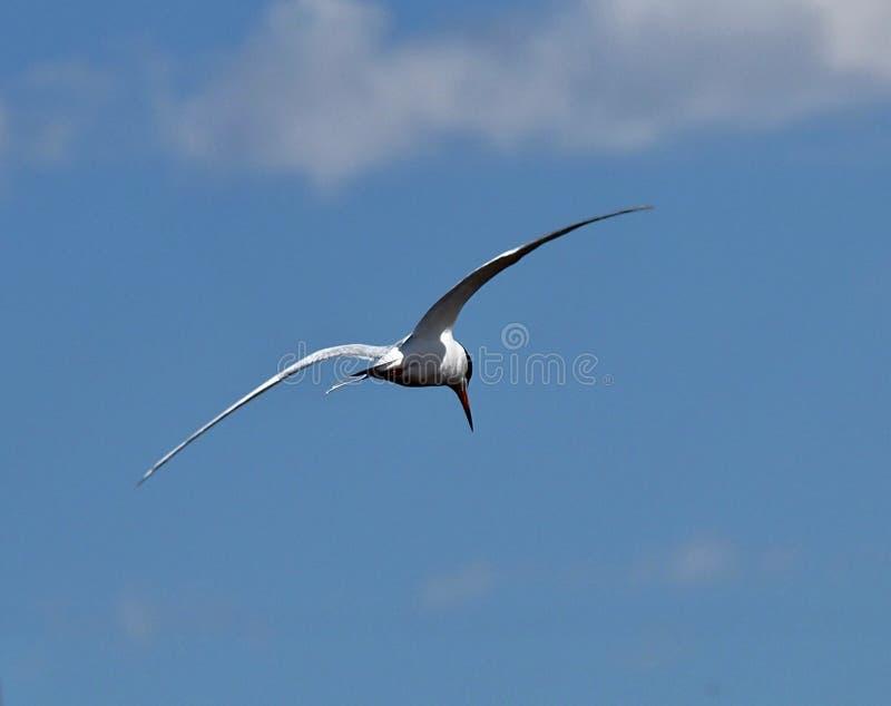 北极燕鸥或天堂鸟 库存图片