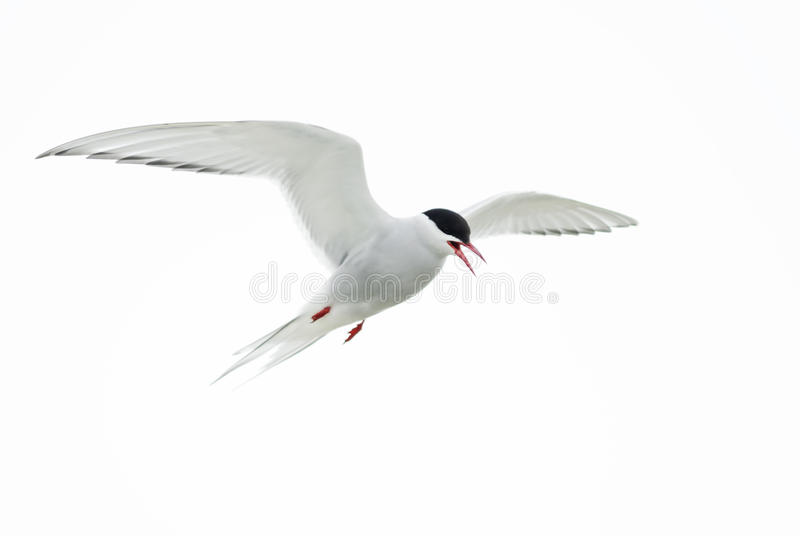北极燕鸥-胸骨paradisaea,舍德兰群岛,英国 库存照片