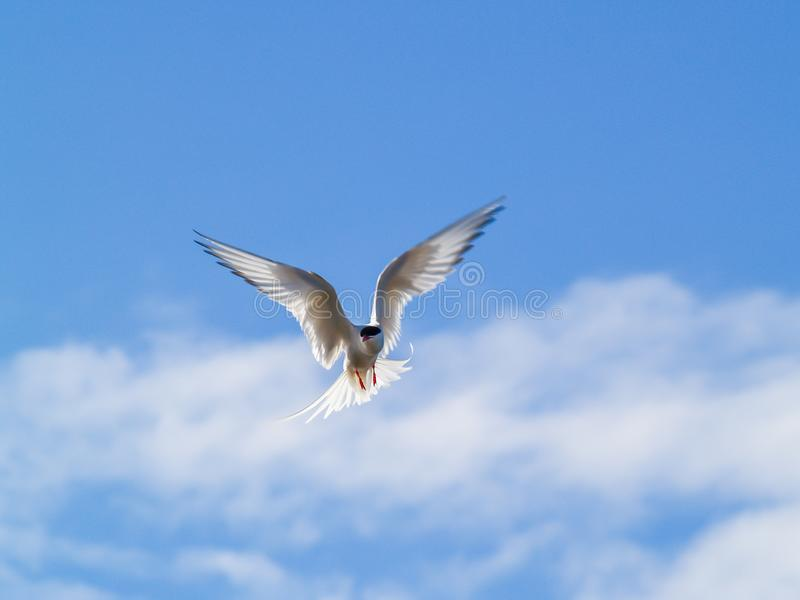 北极燕鸥krÃa 库存图片