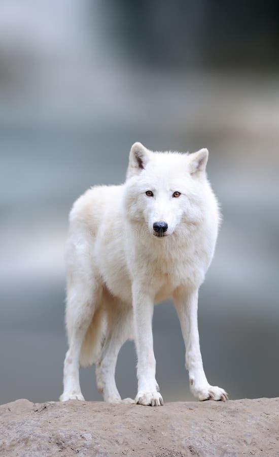 北极狼在冬天 免版税图库摄影