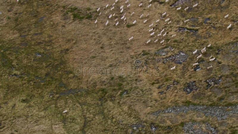 北极狼,狼跑在牧群,设法驱赶出来微弱或慢 北部加拿大 免版税库存照片