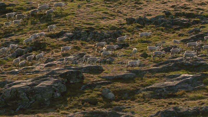 北极狼,狼跑在牧群,设法驱赶出来微弱或慢 北部加拿大 库存图片
