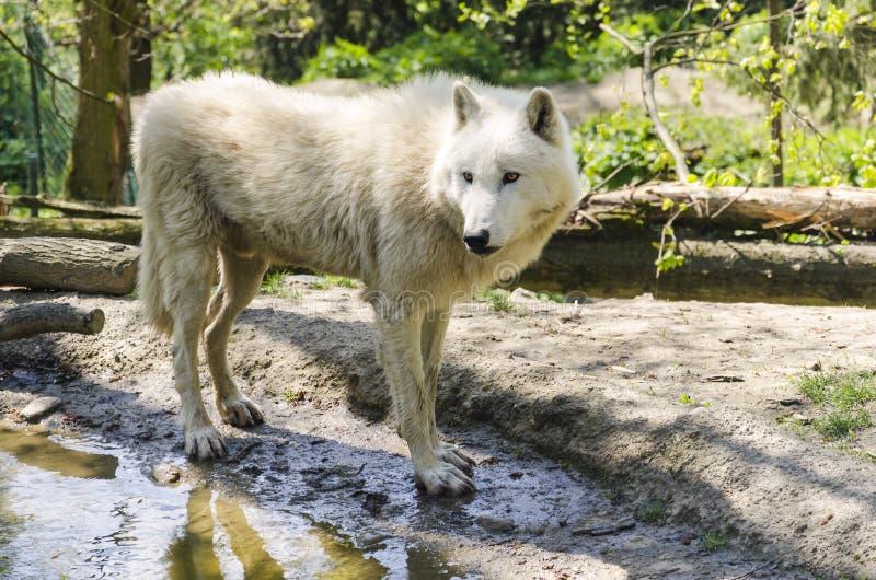 北极白狼 免版税库存照片