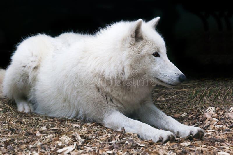 北极白狼 库存图片