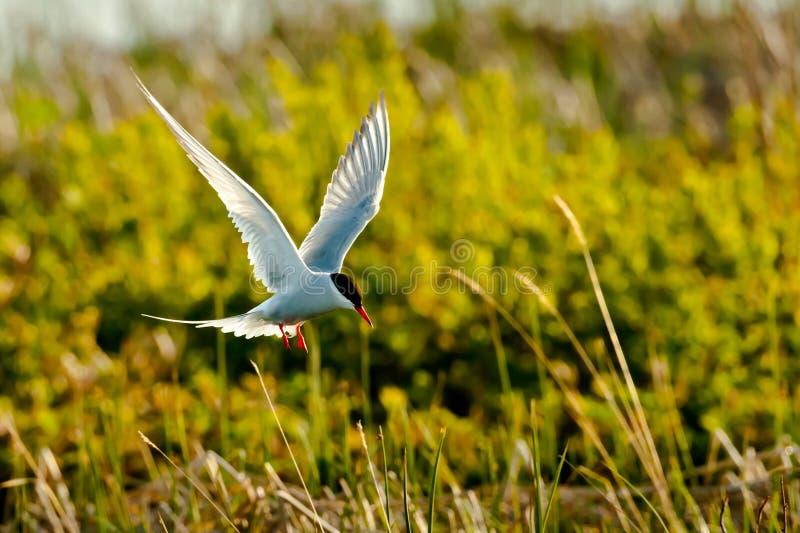 北极盘旋的燕鸥 免版税库存照片