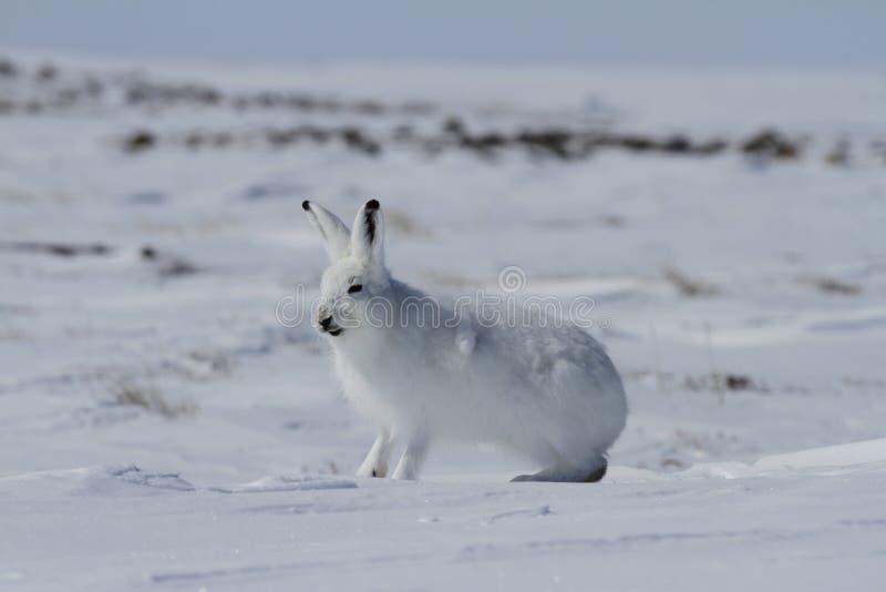 北极野兔天兔座arcticus准备好跳跃,当坐雪和流洒它的冬天时涂上 免版税图库摄影