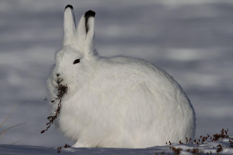北极野兔天兔座arcticus凝视入与杨柳分支的距离在它的嘴,在亚怀亚特附近,努纳武特 免版税图库摄影